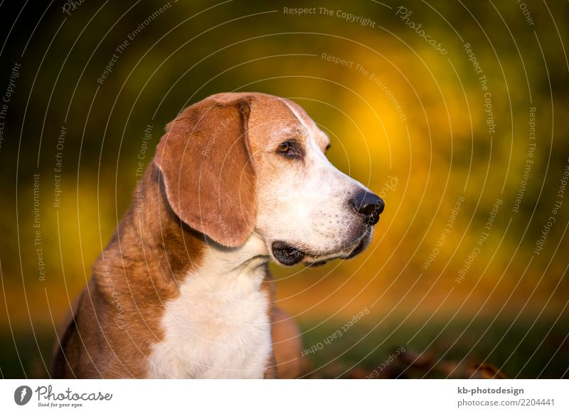 Portrait of a Beagle dog Animal Pet Dog Animal face 1 Sit portrait hound hound dog hunting dog domestic animal mammal sweet brown creature autumn autumnal case