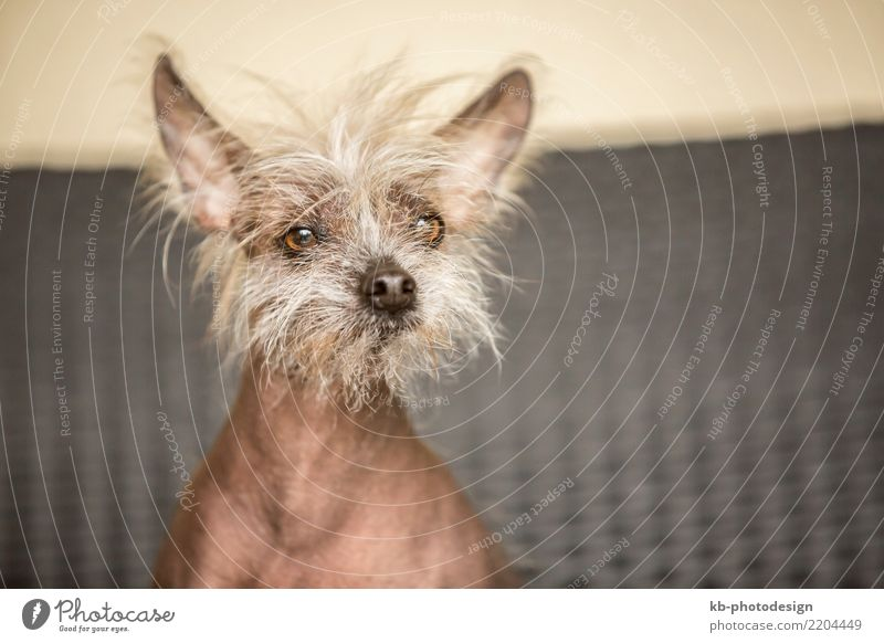 Portrait of a Chinese hairless dog indoor Animal Pet Dog Animal face Sit Chinese dog allergy allergic domestic animal obedience view mammal portrait friend