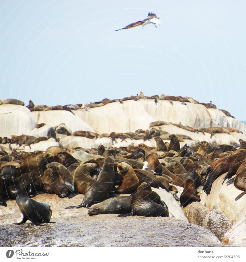 Fur seals on Duiker Island, South Africa Animal Sky Coast Ocean Atlantic Ocean Duiker Iceland Hout Bay Wild animal Bird Seals Seal colony Cape fur Seal Seagull
