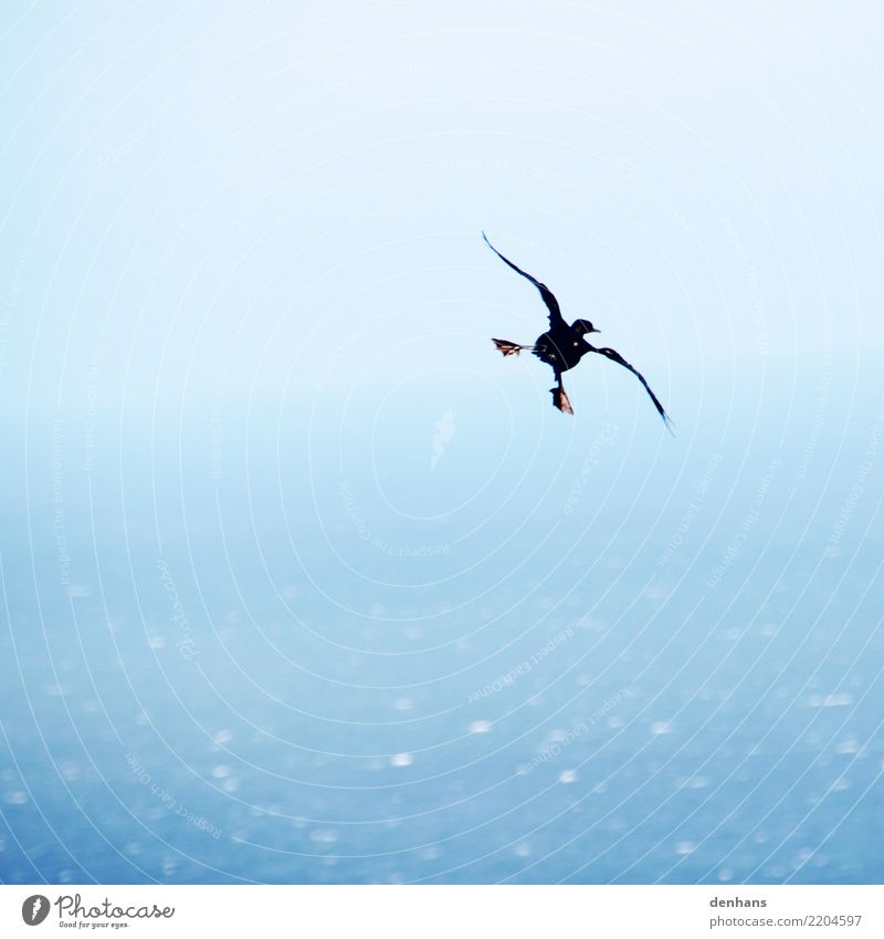 Cape Cormorant Elegant Joy Far-off places Ocean Animal Bird Phalacrocorax capensis 1 Running Movement Flying To enjoy Esthetic Funny Maritime Blue Brave