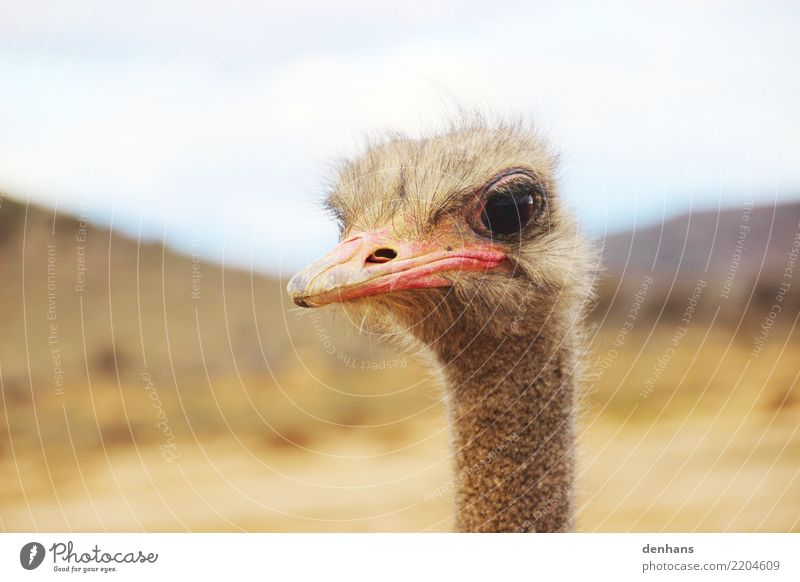 Ostrich head Adventure Safari Nature Africa Animal face 1 Observe Brash Curiosity Vacation & Travel Pride Colour photo Exterior shot Copy Space top Day