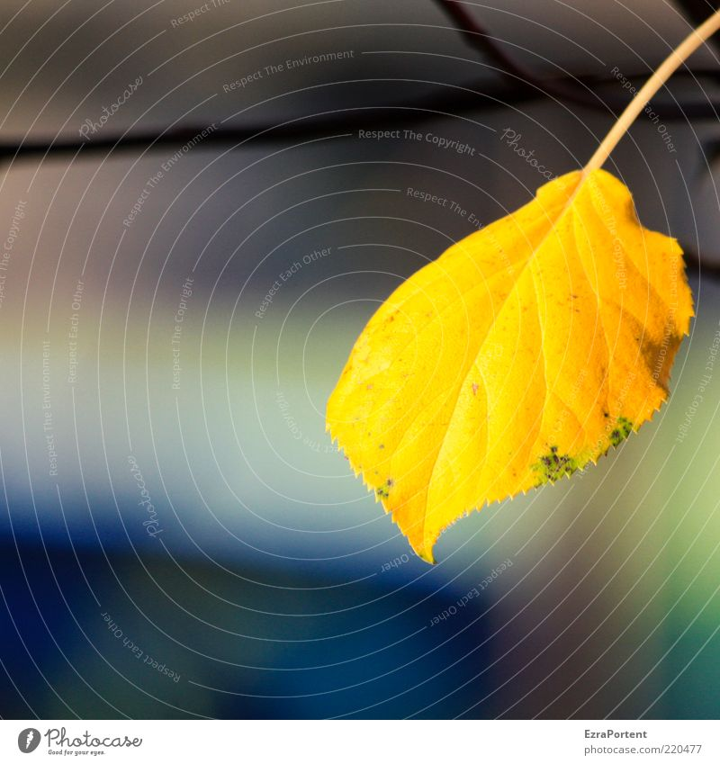 Nature Beautiful Plant Calm Leaf Yellow Environment Autumn Natural Gold Illuminate Authentic Individual Harmonious Autumn leaves Autumnal colours