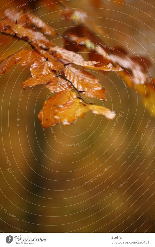 Autumn brown and wet from rain autumn picture golden autumn Autumn Romance autumn impression beech branch beech leaves rainwater autumn colours melancholically