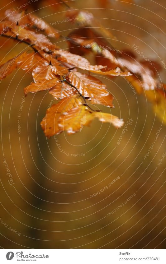Autumn wet with rain Nature Plant Rain Leaf Beech leaf Autumn leaves Twig Beech tree Wet Beautiful Brown Gold Seasons rain atmosphere November mood Colour