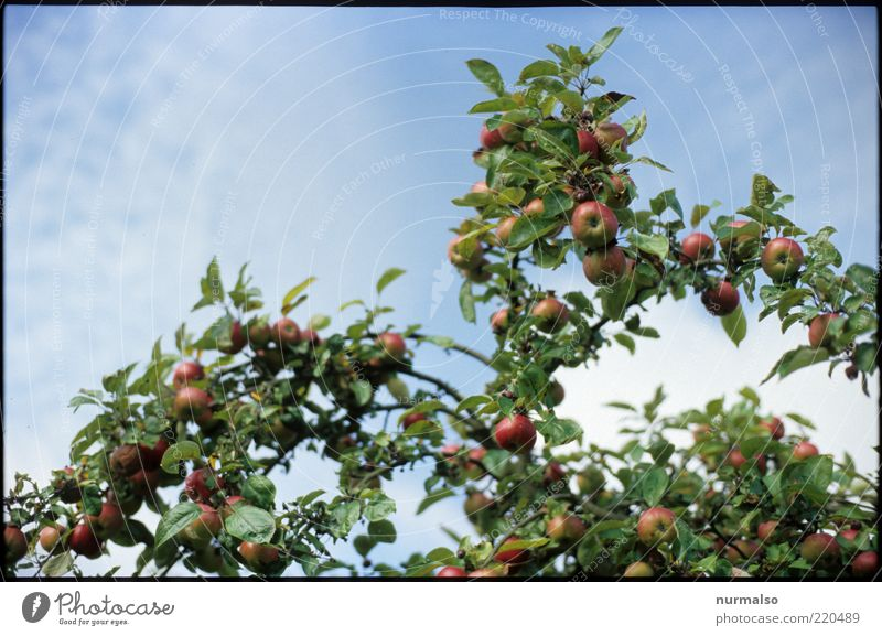 apple Fruit Apple Organic produce Nature Beautiful weather Tree Agricultural crop Delicious Sweet Esthetic Pure Quality Colour photo Morning Ecological