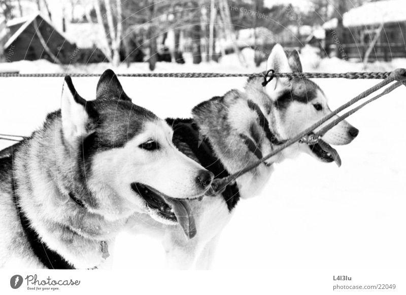 huskies Husky Dog Rennede Dogs racing veil