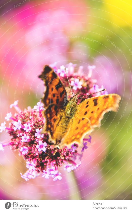 epicure Plant Blossom Honey flora Ornamental plant Garden Animal Butterfly Comma 1 Flying To feed To enjoy Sit Esthetic Beautiful Natural Multicoloured Yellow