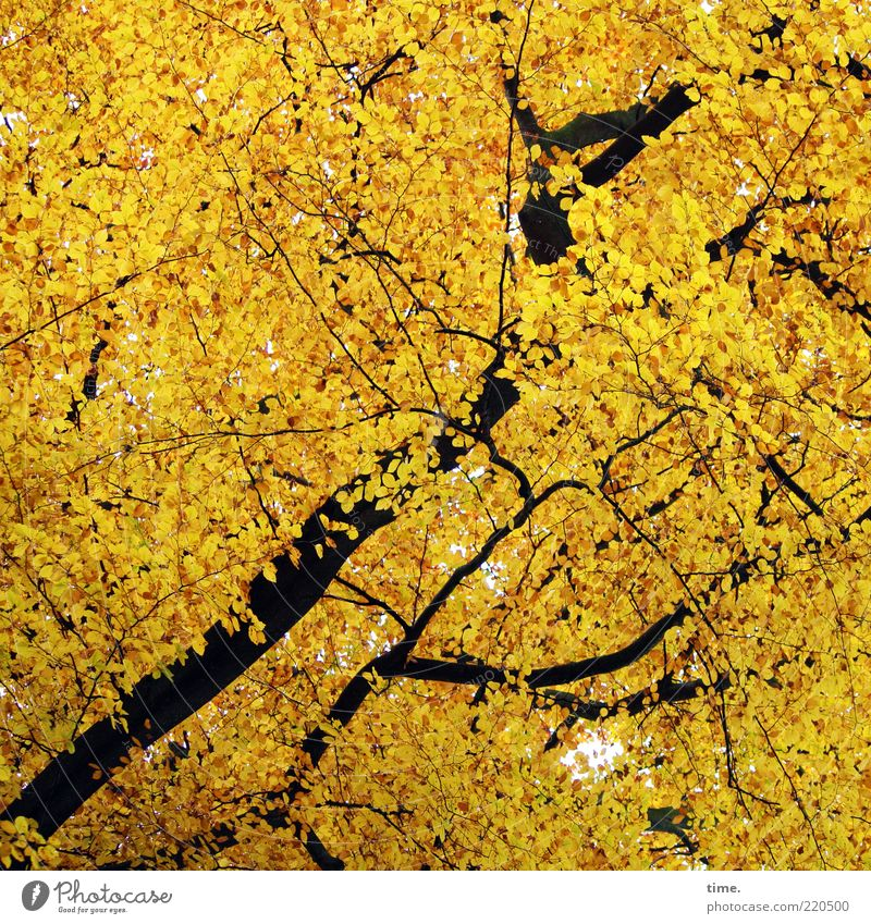 Nature Beautiful Tree Leaf Forest Environment Yellow Autumn Exceptional Gold Illuminate Branch Copy Space Treetop Irritation Upward