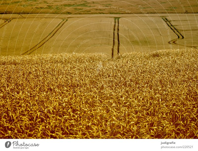 acre Environment Nature Landscape Plant Summer Agricultural crop Field Growth Natural Gold Grain Grain field Tracks Colour photo Exterior shot Deserted Day