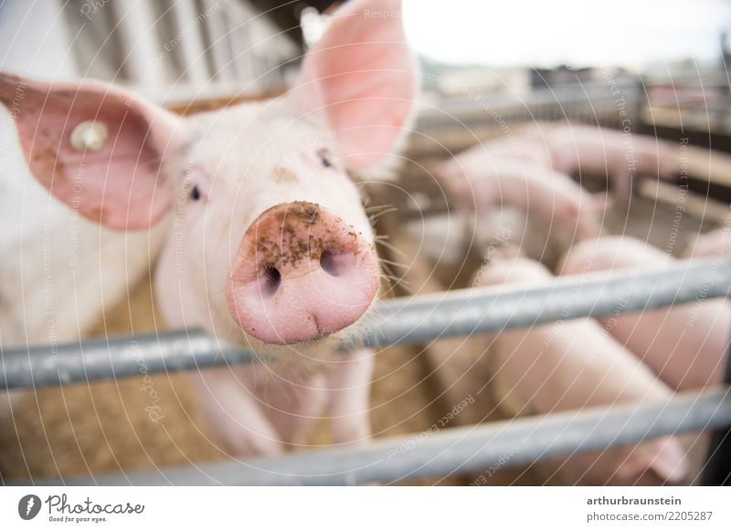 Healthy Eating Animal Food Metal Group of animals Curiosity Agriculture Farm Fence Meat Farmer Forestry Swine Herd Farm animal Barn
