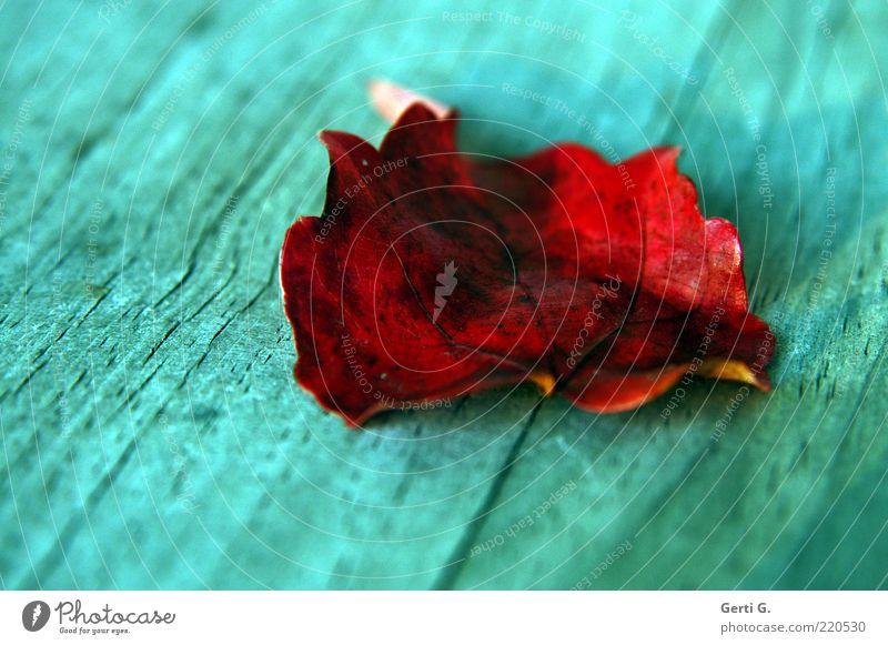 Red Leaf Autumn Wood Lie Transience Turquoise Autumn leaves Wood grain Rachis Autumnal Autumnal colours Auburn