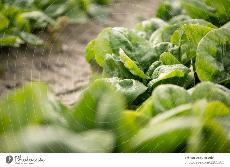 Leaf spinach fresh from the field ripe for harvesting Food Vegetable Lettuce Salad Spinach Spinach leaf Nutrition Organic produce Vegetarian diet Fasting