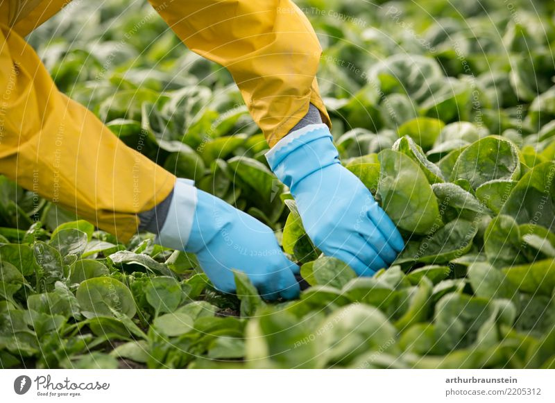 Harvesting vegetables in agriculture with your hands on the field Food Vegetable Lettuce Salad Spinach Spinach leaf Nutrition Organic produce Vegetarian diet