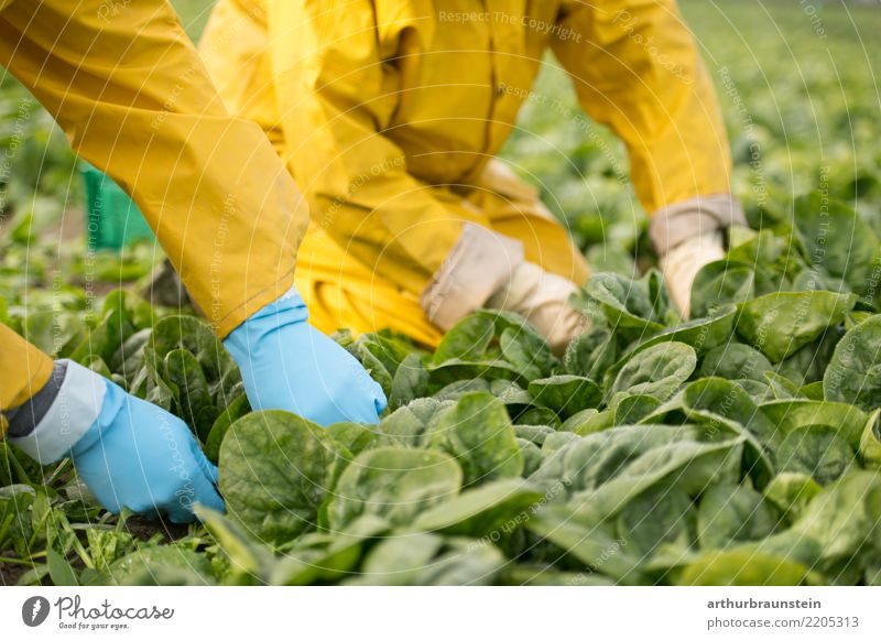 Harvesting vegetables with your hands on the field Food Vegetable Lettuce Salad Spinach Spinach leaf Nutrition Organic produce Vegetarian diet Shopping