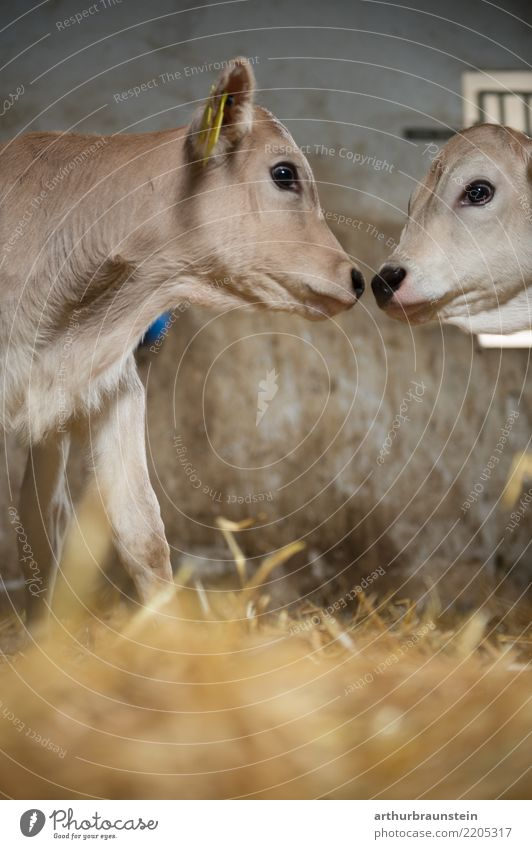 Young calves kiss in the barn Food Meat Beef Cattle farming Nutrition Farmer Veterinarian Economy Agriculture Forestry Environment Straw Barn Animal Farm animal