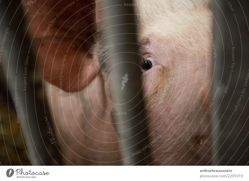 Unhappy pig locked up in fattening farm Food Meat Sausage Pork Pork tenderloin Pig head Roast pork Pig's ear Nutrition Organic produce Vegetarian diet Fasting