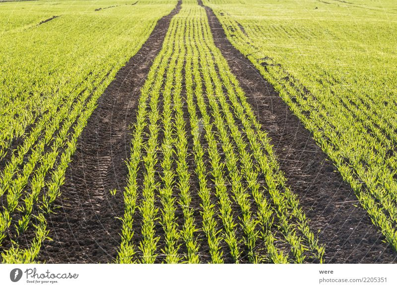 A field with young grain production as winter seed Food Grain Agriculture Forestry Nature Landscape Plant Environmental protection Sowing sprout Farmer Eating
