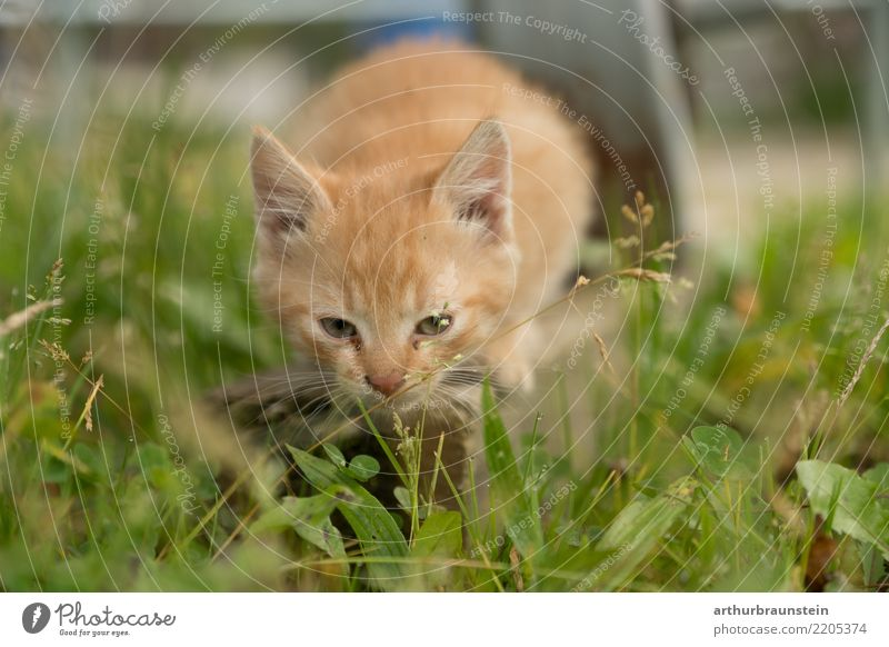 Cat kitten in the meadow Garden Environment Nature Beautiful weather Grass Meadow Animal Pet Animal face Pelt Baby animal Love of animals Animal protection