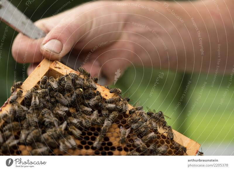 In search of the queen bee Food Honey Honey bee Nutrition Organic produce Slow food Healthy Eating Leisure and hobbies Bee-keeping Garden Profession Bee-keeper