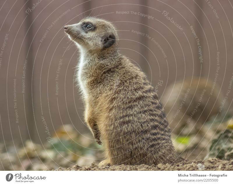 Meerkat portrait Environment Nature Animal Sand Sun Beautiful weather Plant Wild animal Animal face Pelt Claw Paw Eyes Ear Nose 1 Observe Listening Looking Sit