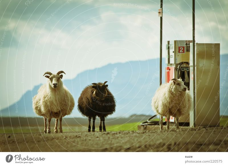 The 3 from the gas station Environment Nature Animal Elements Earth Sky Clouds Beautiful weather Farm animal Sheep Group of animals Exceptional Fantastic Small