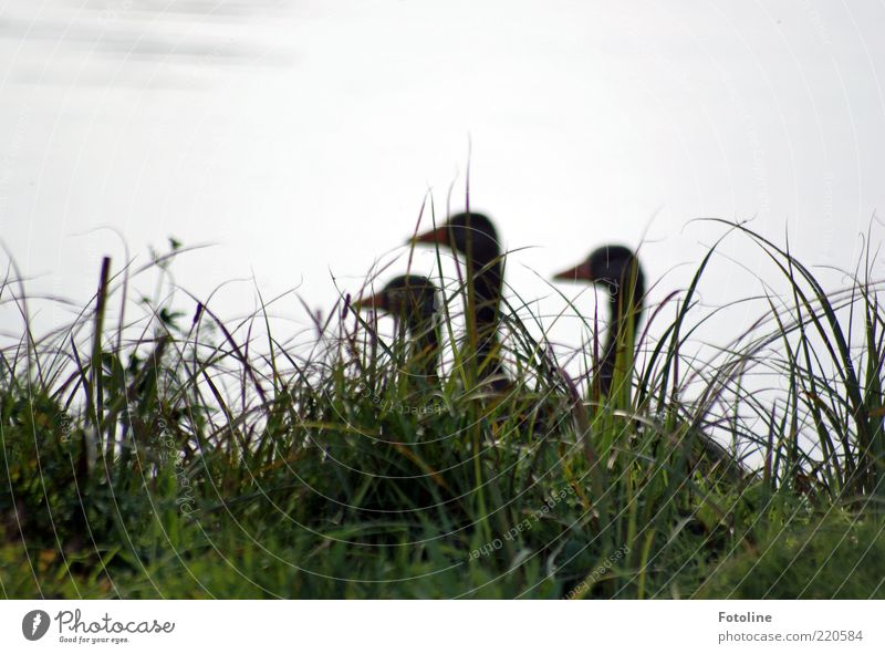 The 3 ladies for the grill ;-) Environment Nature Plant Animal Elements Water Lakeside Pond Wild animal Bird Natural Goose Grass Colour photo Subdued colour