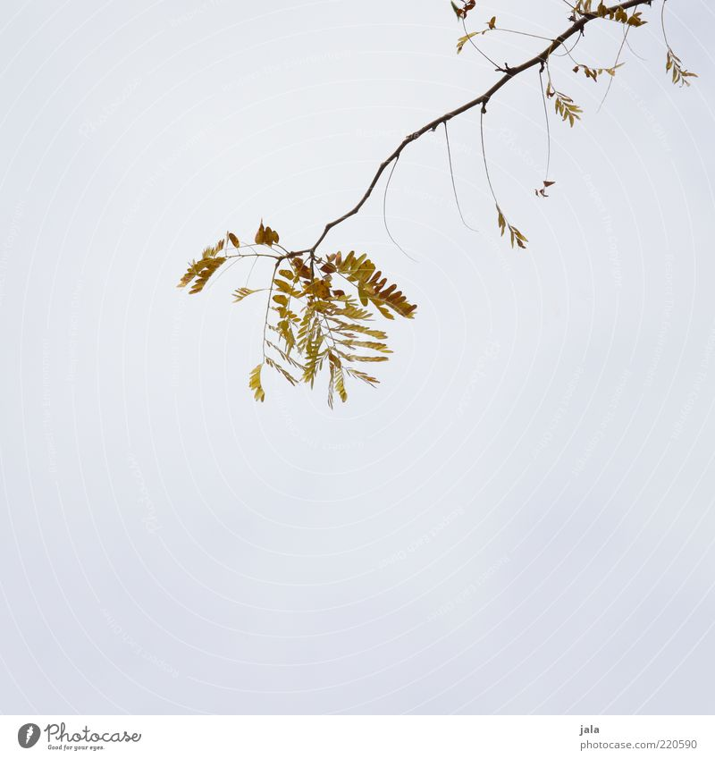 branch Nature Sky Autumn Plant Branch Twig Leaf Yellow Gray Green Colour photo Exterior shot Deserted Copy Space left Copy Space right Copy Space bottom