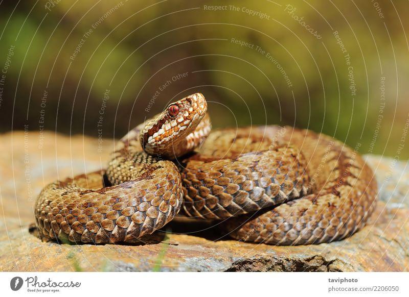 european crossed viper on rock Beautiful Woman Adults Nature Animal Rock Wild animal Snake Brown Gray Fear Dangerous wildlife Reptiles adder Viper venomous