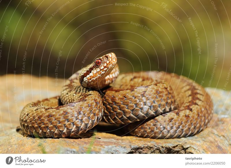 european crossed viper on rock Woman Nature Beautiful Animal Adults Gray Brown Rock Wild Fear Wild animal Dangerous European Poison Reptiles Snake