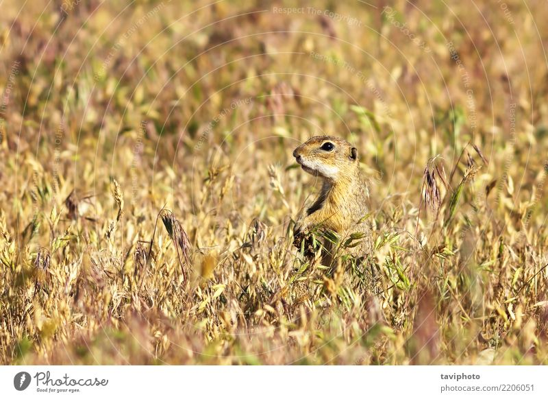 european ground squirrel in the field Nature Summer Beautiful Green Animal Environment Funny Meadow Natural Grass Small Brown Wild Sit Stand Europe