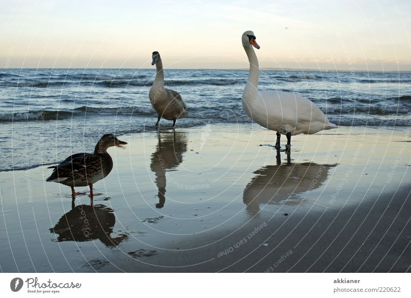 Hey... Environment Nature Animal Sky Clouds Waves Coast Beach Baltic Sea Wild animal Bird Swan Bright Wet Duck Reflection Colour photo Subdued colour