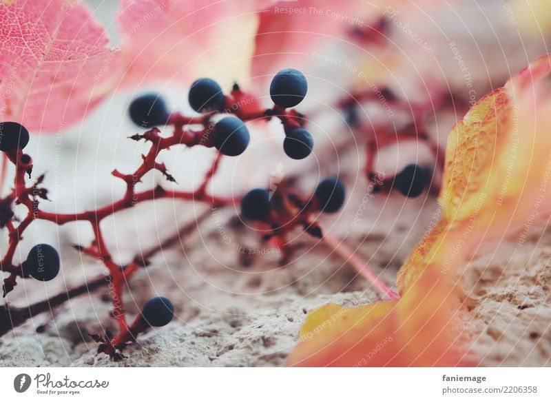 vine tendril Nature Esthetic Vine tendril Wine Bunch of grapes Autumn Leaf Orange Red Blue Fruit Wall (barrier) Structures and shapes Tendril Vine leaf