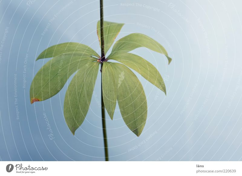 cut - flower Environment Nature Plant Summer Wild plant Turk's cap Growth Natural Blue Green Stalk Leaf Colour photo Exterior shot Deserted Copy Space right