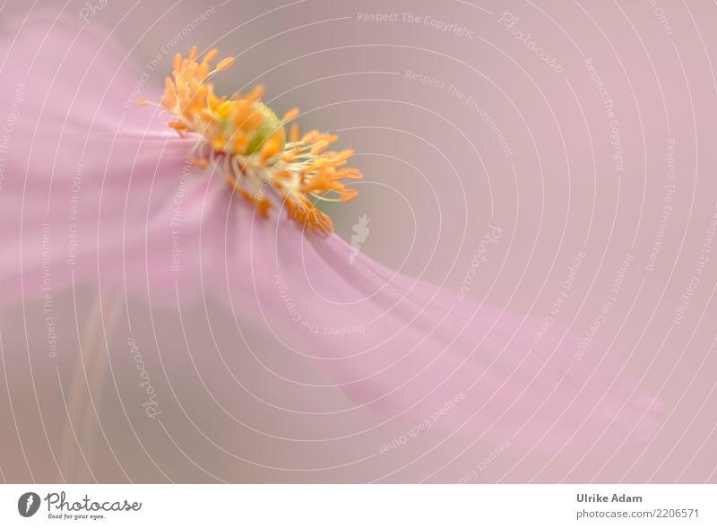 A hint of pink Elegant Harmonious Well-being Contentment Relaxation Calm Meditation Decoration Wallpaper Image Poster Card Wedding Art Nature Plant Summer