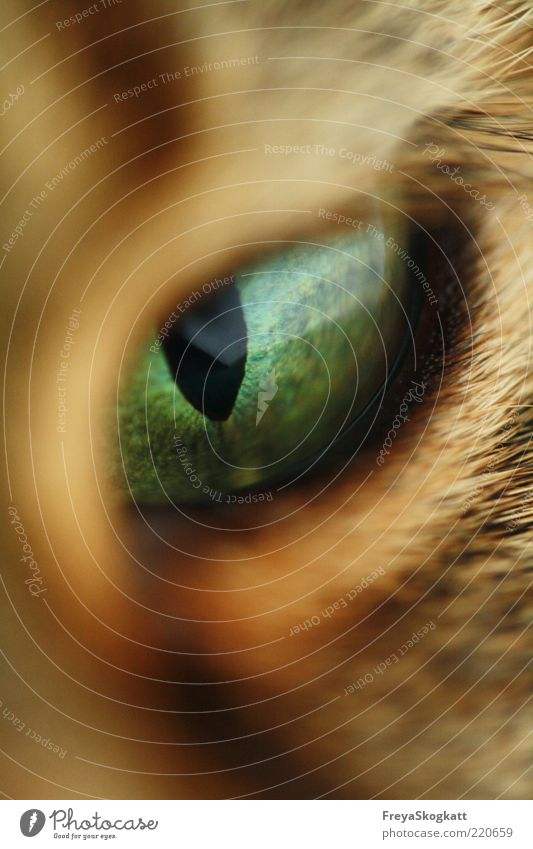 Green Calm Black Eyes Animal Cat Brown Perspective Near Observe Curiosity Concentrate Macro (Extreme close-up) Watchfulness Evil Expectation