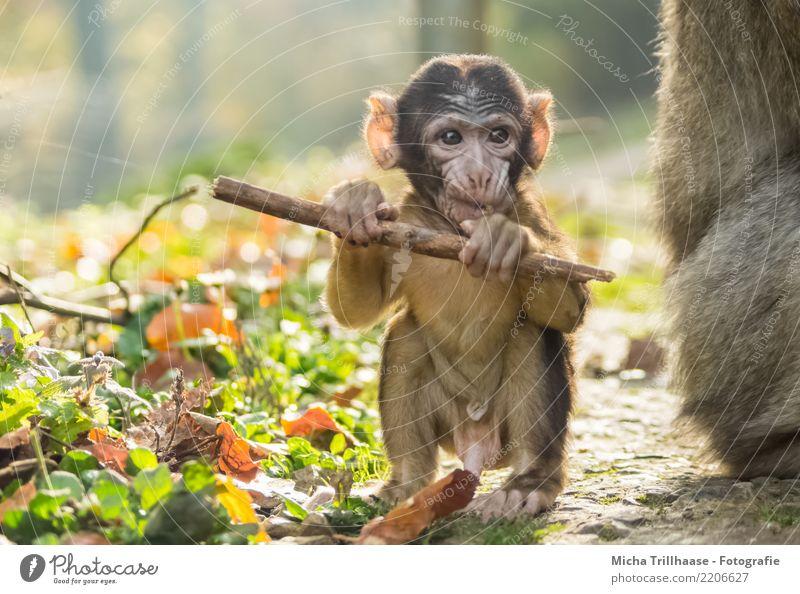 Baby monkey with little stick Environment Nature Animal Sun Sunlight Beautiful weather Plant Leaf Animal face Pelt Paw Monkeys Young monkey Barbary ape Eyes Ear