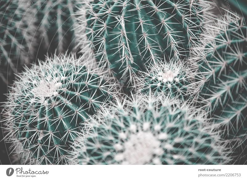 A bunch of green cacti Garden Nature Plant Tree Cactus Foliage plant Exotic Decoration Point Green Threat Background picture Cactus flower Cactusprickle Pain