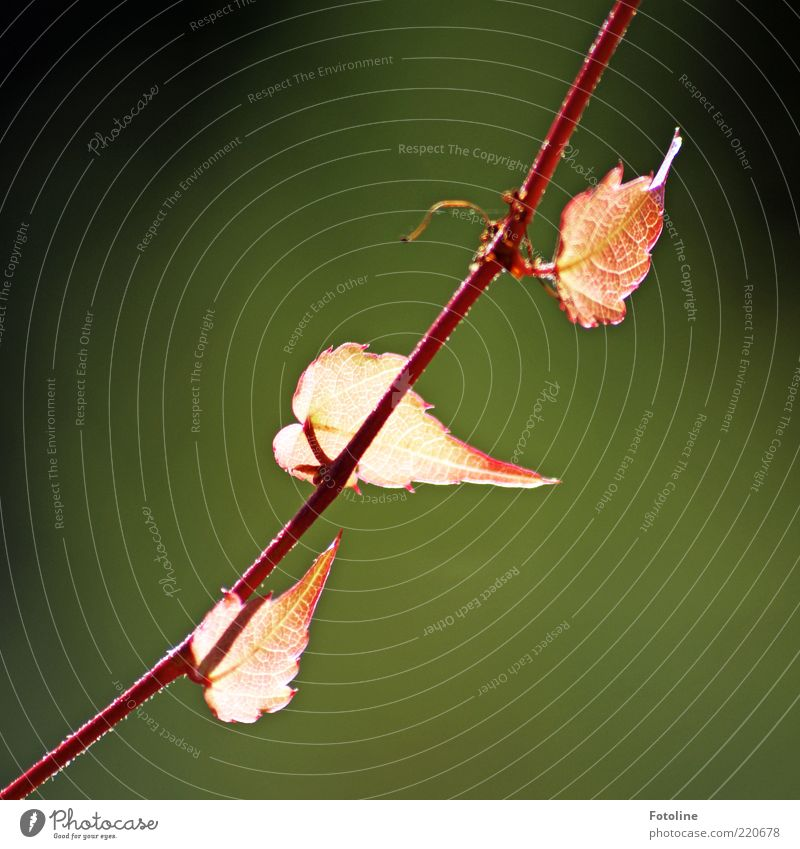 Nature Plant Red Leaf Autumn Bright Environment Near Natural Stalk Illuminate Diagonal Tendril Rachis Copy Space left Red hot