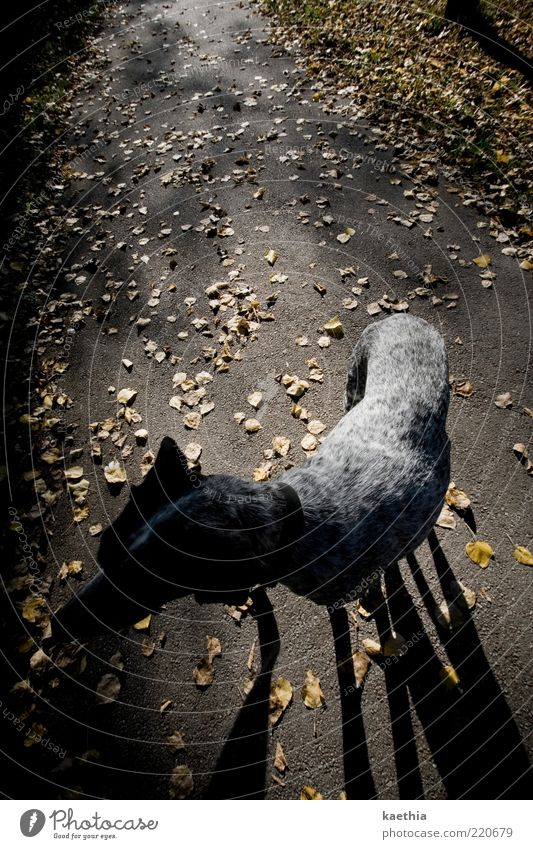 Leaf Black Animal Yellow Autumn Dog Lanes & trails Legs Gold Going Walking Stand To go for a walk Pelt Asphalt Autumn leaves