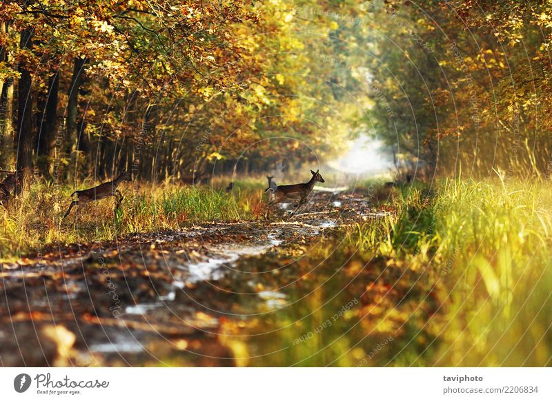 fallow deers in the autumn woods Beautiful Playing Hunting Woman Adults Nature Landscape Animal Autumn Park Forest Street Lanes & trails Herd Natural Wild Brown