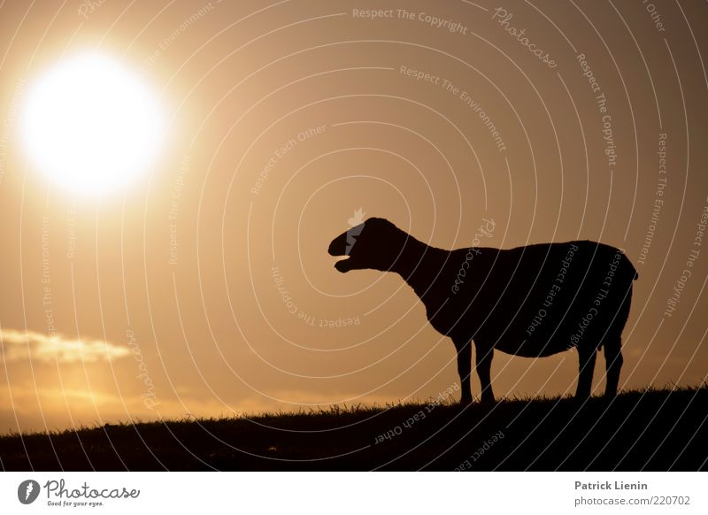 Black sheep Nature Beautiful Sky Sun Clouds Animal Warmth Air Moody Bright Fear Weather Environment Observe Hill Discover