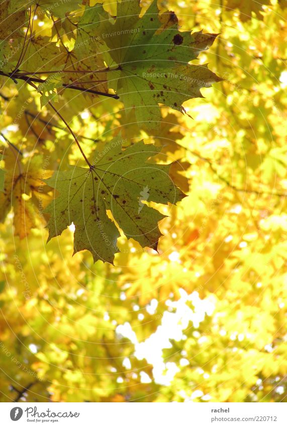 Nature Tree Leaf Forest Autumn Bright Environment Gold Change Transience Seasons Beautiful weather Twig Autumn leaves Maple tree Deciduous tree