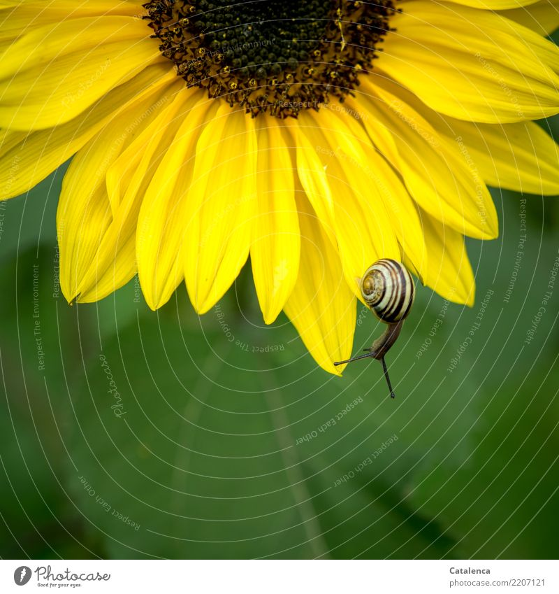 Brown on Yellow on Green Nature Plant Summer Flower Leaf Blossom Sunflower Garden Snail 1 Animal Blossoming Hang Faded To dry up Hiking Esthetic Moody Effort