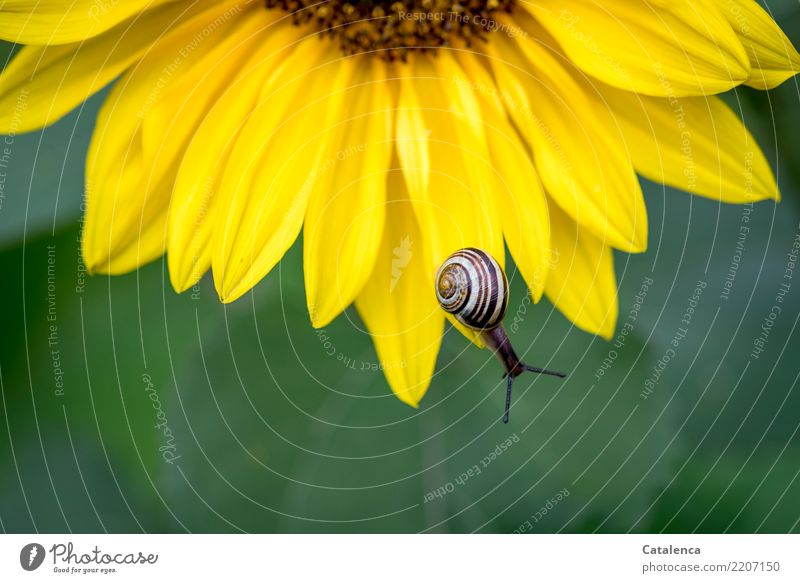 On the Abyss Nature Plant Animal Summer Leaf Blossom Sunflower Garden Snail schnirkel snail 1 Blossoming Beautiful Slimy Brown Yellow Green Life Environment