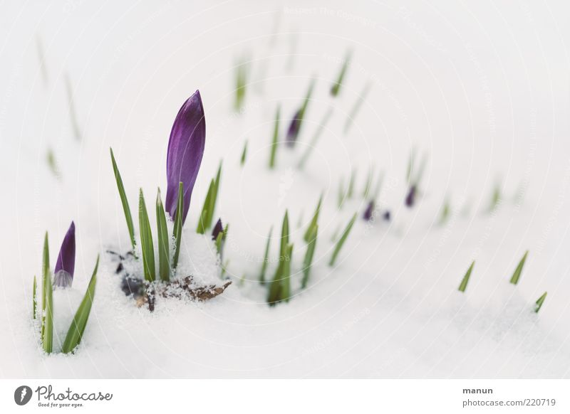early riser Winter festival Nature Spring Snow Flower Leaf Blossom Crocus Shoot Sprout Spring flowering plant Spring crocus Bud Blossoming Growth Cold Point