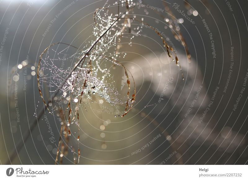 Pearls in the net Environment Nature Plant Drops of water Autumn Beautiful weather Grass Wild plant Blade of grass Forest Spider's web Glittering Hang