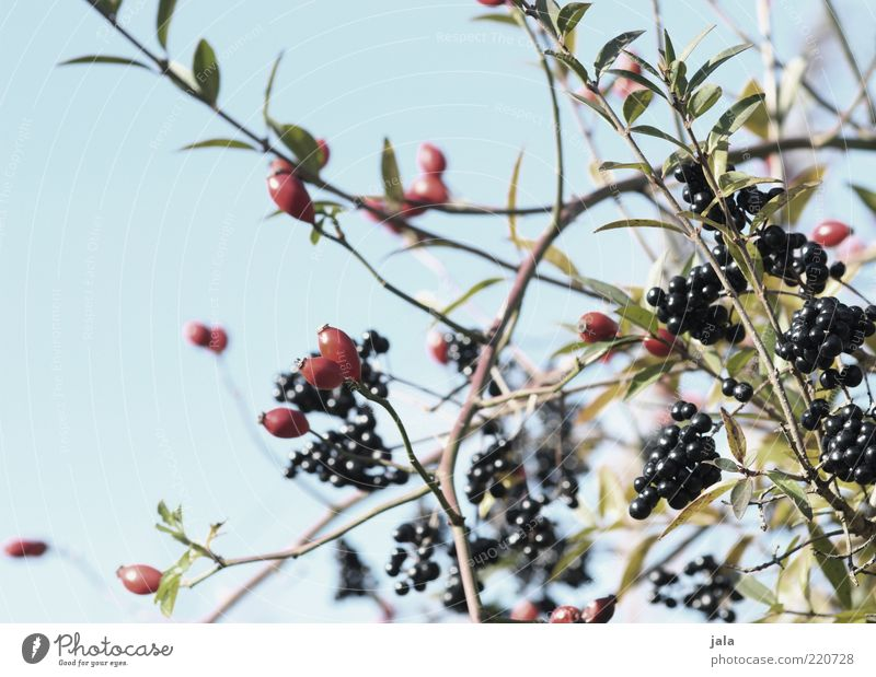 Nature Sky Blue Plant Red Leaf Black Gray Environment Bushes Twig Berries Rose Flower Fruit Rawanberry