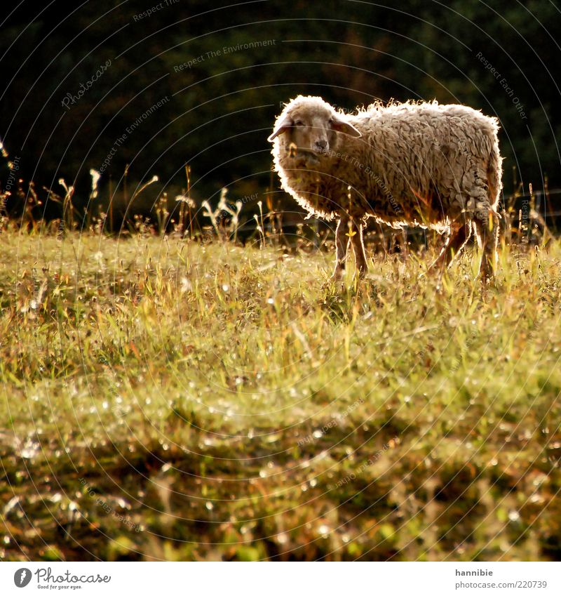 Nature Green Calm Animal Meadow Grass Warmth Contentment Stand Animal face Natural Pelt Serene Pasture Sheep Beautiful weather