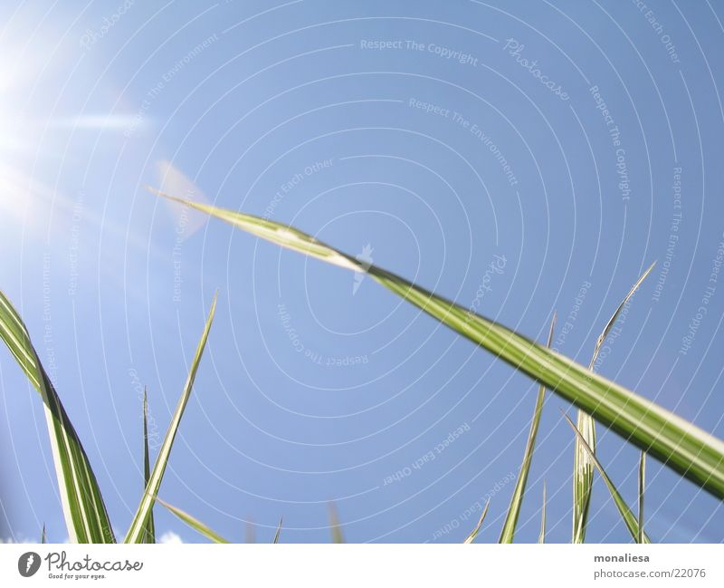 towards the sun Sunbeam Blade of grass Green Summer Sky Blue Bamboo stick Nature