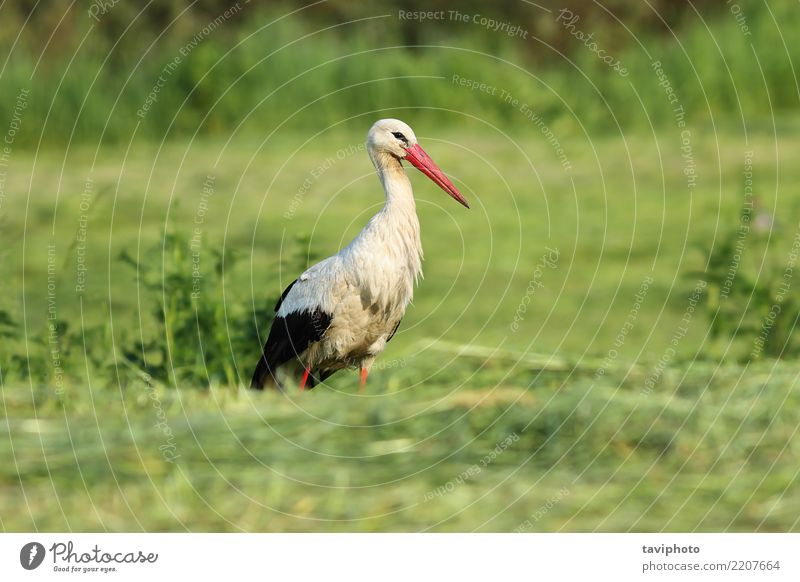white stork foraging for food in the green field Nature Beautiful Green White Landscape Animal Adults Environment Meadow Natural Grass Bird Wild European Beak